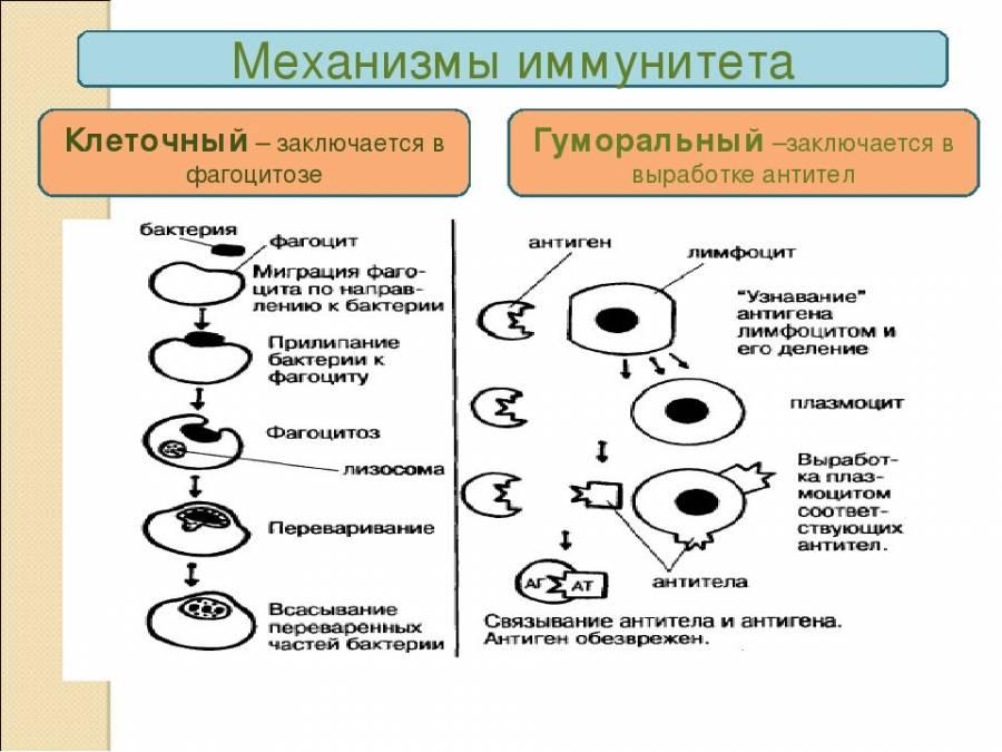 Механизм работы иммунитета
