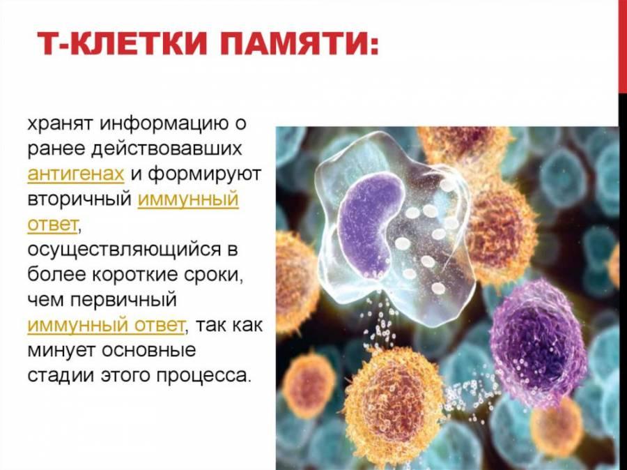 Т-клетки памяти