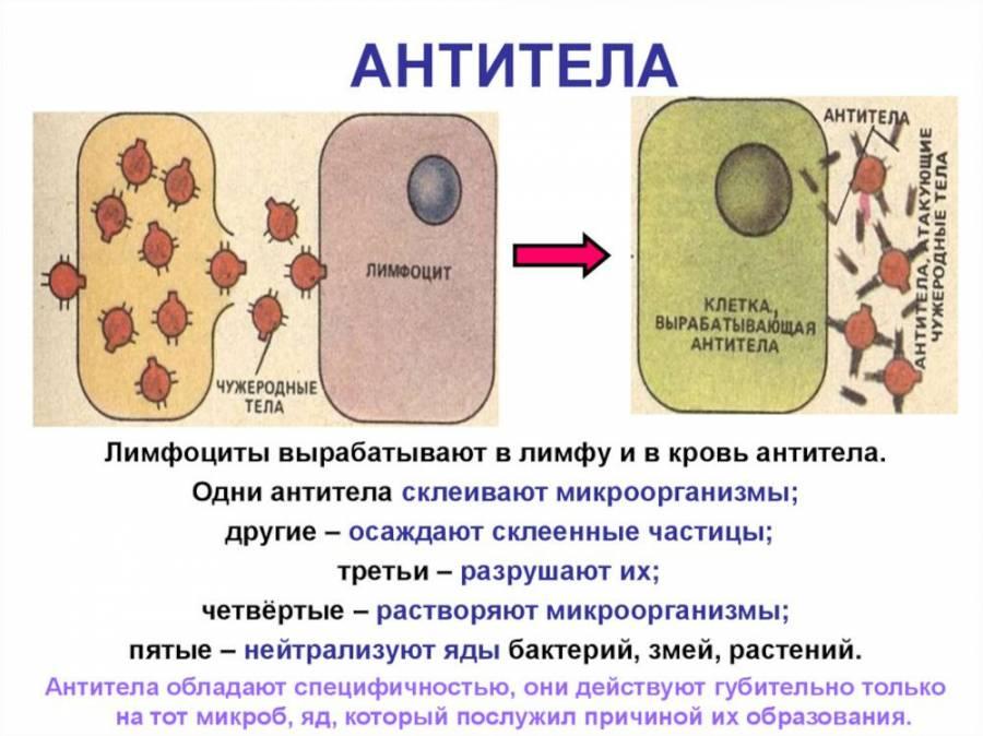 Работа антител
