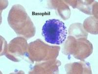 Базофил в мазке крови