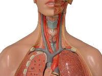 Сосуды и органы шеи