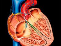 сердце в разрезе