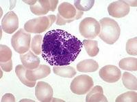 Гранулоцит в мазке крови