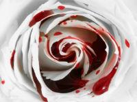 Белая роза и кровь
