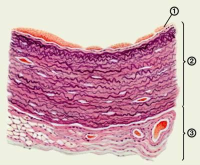 Гистологическое строение миокарда