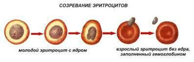 Созревание эритроцитов