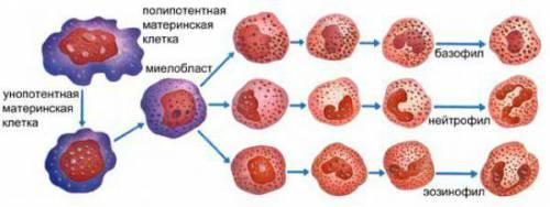 Процесс дозревания гранулоцитов