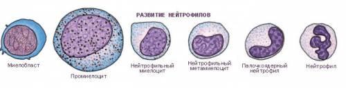 Виды нейтрофилов крови