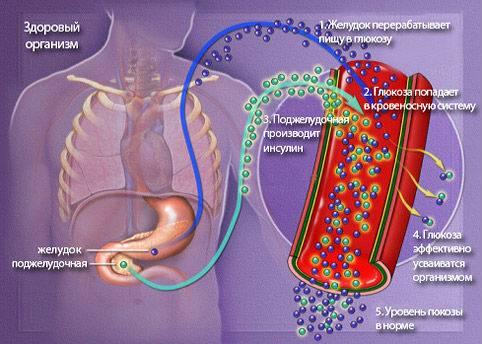 Механизм регуляции глюкозы