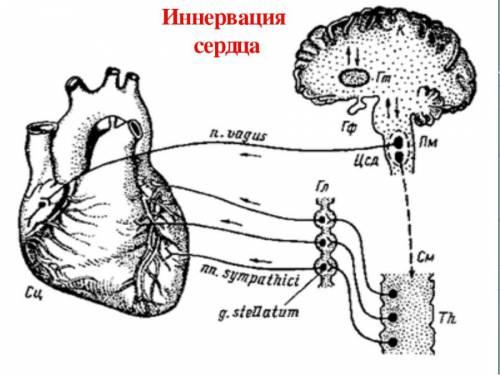 Иннервация сердца