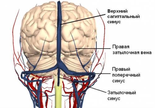 Венозные сосуды головного мозга