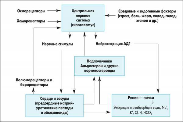 Регуляция водно-электролитного баланса в организме