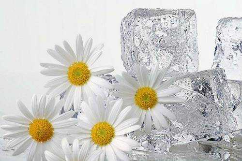 Ромашка и лед