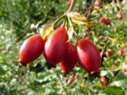ягоды шиповника